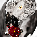 African Grey  Collection