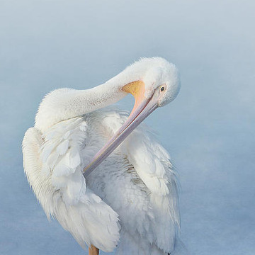 American White Pelicans Collection
