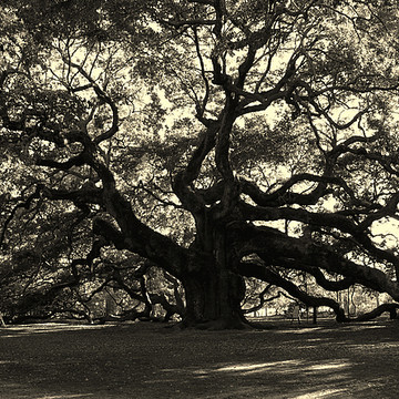 Angel Oak Tree in Charleston Collection