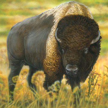 Animals- Buffalo or Bison Collection
