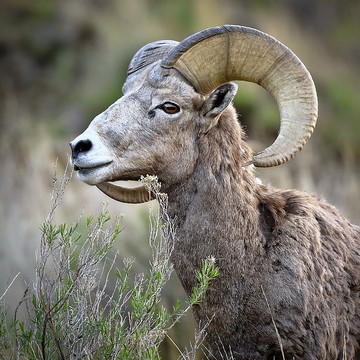 Big Horn Sheep Collection