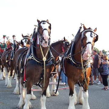 Budweiser Clydesdales Collection