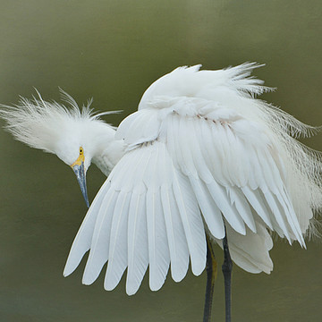 Egrets Collection
