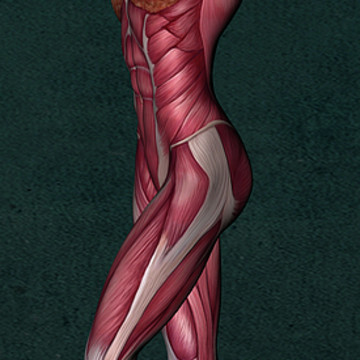 Female Human Anatomy - Muscles Collection