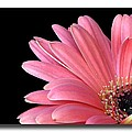 Gerbera Daisies Collection