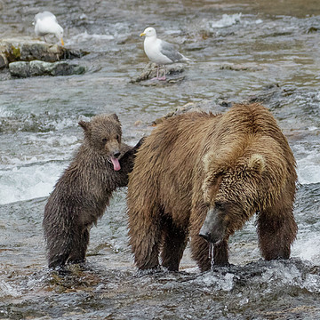 Grizzly Bears in Katmai N.P. Alaska Collection