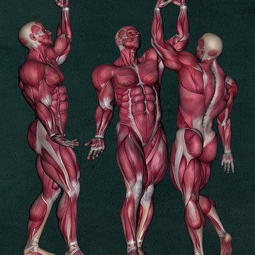 Human Anatomy - Muscles - Dual and Group Poses Collection