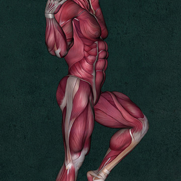 Male Human Anatomy - Muscles - Individual Poses Collection