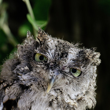 Monte - Eastern Screech Owl Collection