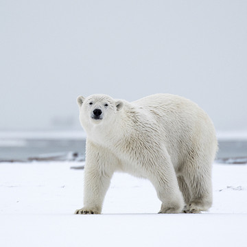 Polar Bears in Alaska Collection