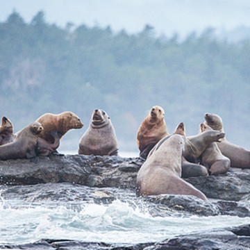 Sea Lions Collection