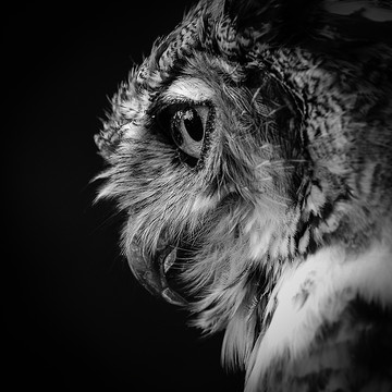 Teasdale - Great Horned Owl Collection