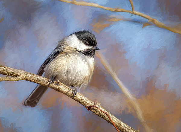 Wes Iversen - Black-capped Chickadee