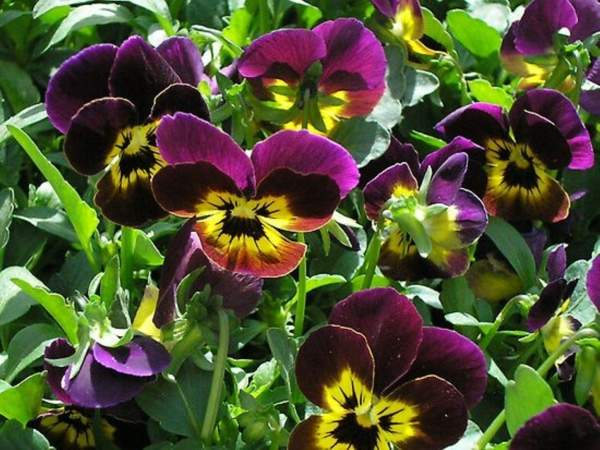 Large Bunch Of Pansies