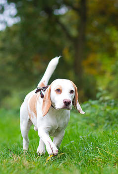 Fizzy Image - Beagle being walked off a lead in the field