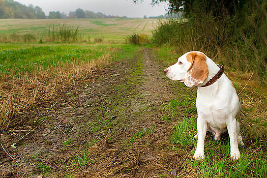 Fizzy Image - Beagle in a field looking out
