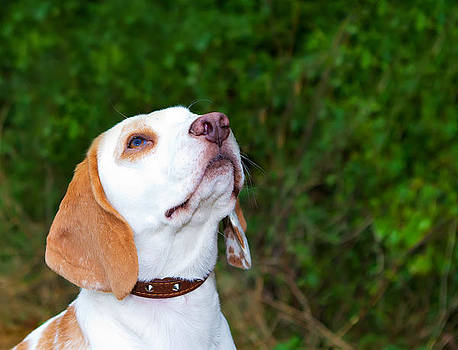 Fizzy Image - Beagle in a field looking up