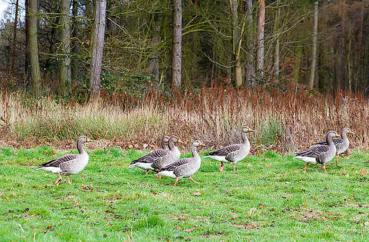 Fizzy Image - flock of gray geese walking through field