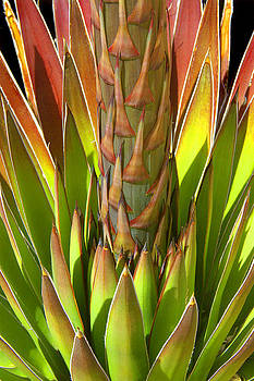 Douglas Taylor - FLOWERING AGAVE ABSTRACT