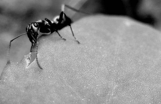 Gilbert Photography And Art - My Great Ant
