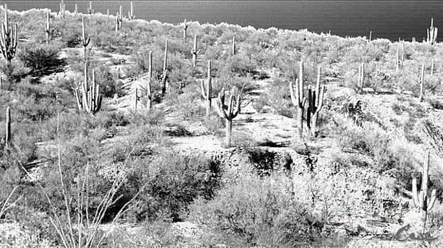 Feile Case - Saguaro Majestic Haze True San Manuel Arizona