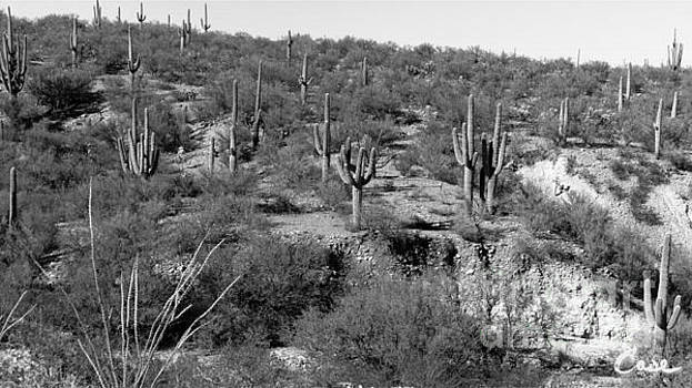 Feile Case - Saguaro Majesty B and W San Manuel Arizona