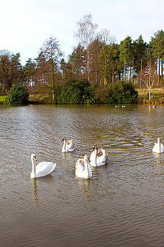 Fizzy Image - swans in an countryside scene