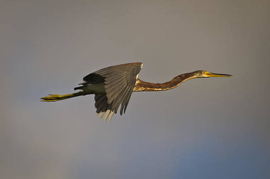 Christine Kapler - Tricolored Heron in fly