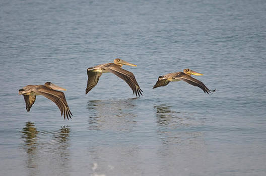 Christine Kapler - Pelicans flying over the ocean