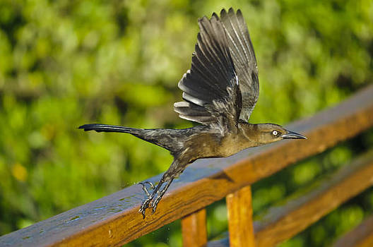 Christine Kapler - Great-tailed grackle
