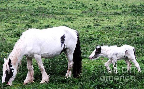Joseph Doyle - New-born foal with mother in the wild Irish countryside