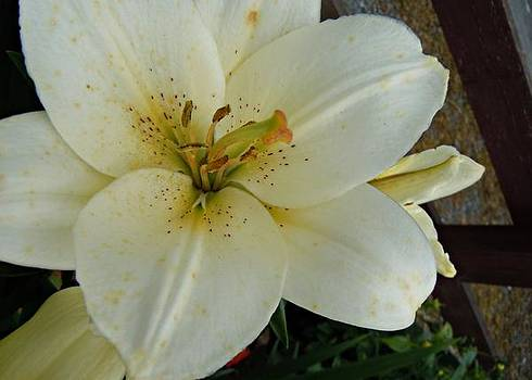 Julie Williams - White Lily