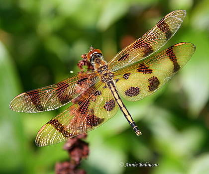 Anne Babineau - tiger-striped dragonfly