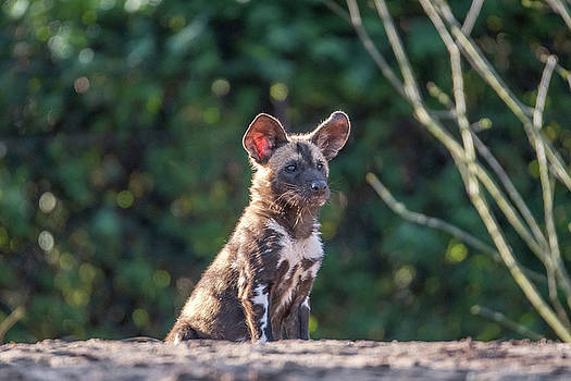 Darren Wilkes - African Painted Dog - Pup
