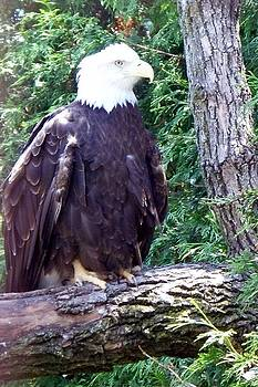 Emily Kelley - American Bald Eagle