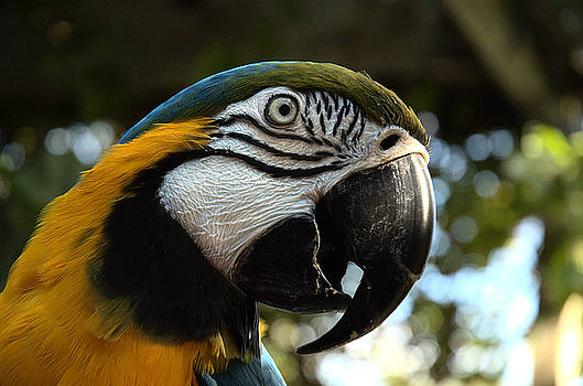 Kathi Shotwell - Blue and Gold Macaw