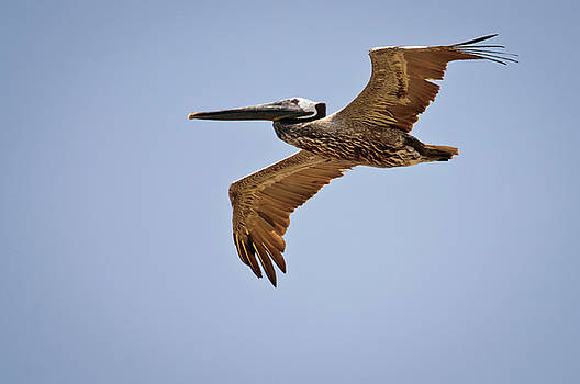 Christine Kapler - Brown Pelican flying