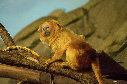 Allen Sheffield - El Paso Zoo - Golden Lion Tamarin