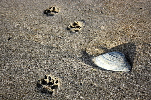 Annie Babineau - fido footprints beside quahog