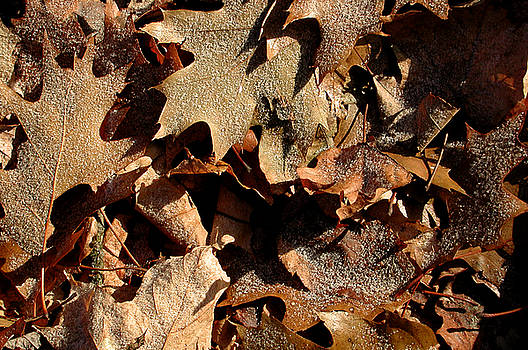 Kathi Shotwell - Frosty leaves