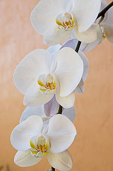 Carmen Del Valle - Graceful White Orchids