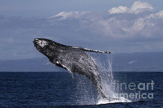 California Views Mr Pat Hathaway Archives - Humpback  whale in a full breach, April 10, 2017 Photo by Pat Hathaway