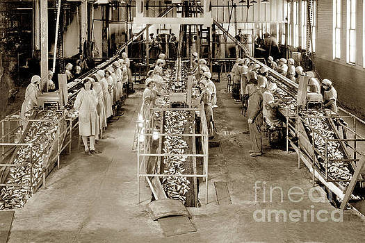 California Views Mr Pat Hathaway Archives - Interior view of three double packing tables of the main at Hovden Cannery 1927
