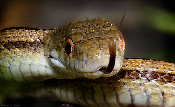 Warren Sarle - Juvenile Yellow Rat Snake