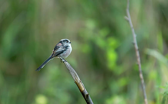Darren Wilkes - Long Tailed Tit