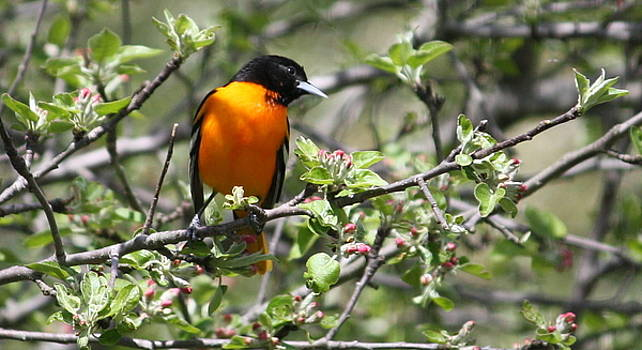 Anne Babineau - oriole outing