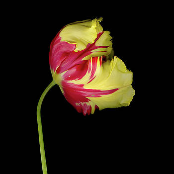 Christopher Gruver - Parrot Tulip Two Five