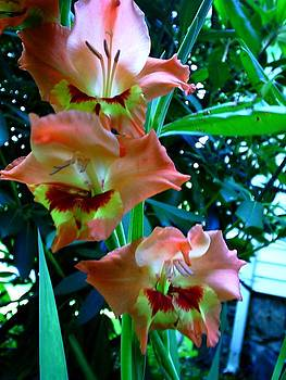 Scarlett Royal - Peach Gladiolus
