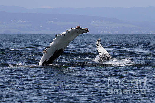 California Views Mr Pat Hathaway Archives - Peck Slapping whale in Monterey Bay April 10, 2017