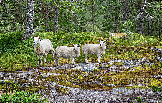Compuinfoto - three sheep animals in nature in norway